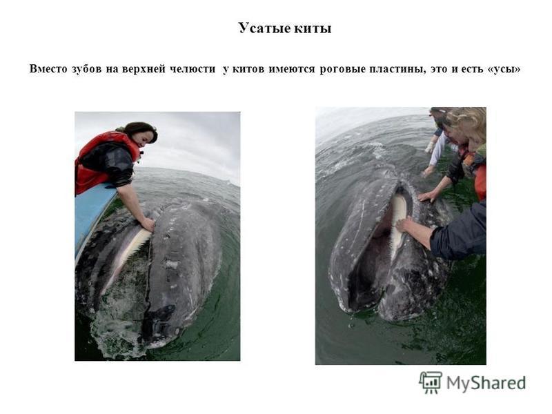 Усатые киты Вместо зубов на верхней челюсти у китов имеются роговые пластины, это и есть «усы»
