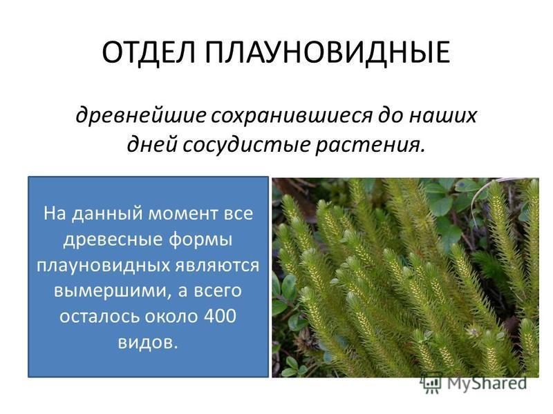 древнейшие сохранившиеся до наших дней сосудистые растения. На данный момент все древесные формы плауновидных являются вымершими, а всего осталось около 400 видов.