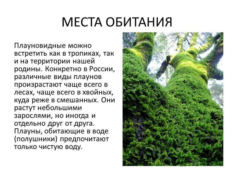 МЕСТА ОБИТАНИЯ Плауновидные можно встретить как в тропиках, так и на территории нашей родины. Конкретно в России, различные виды плаунов произрастают чаще всего в лесах, чаще всего в хвойных, куда реже в смешанных. Они растут небольшими зарослями, но