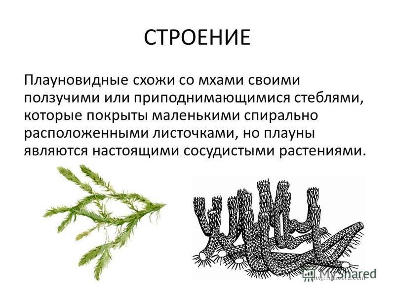 СТРОЕНИЕ Плауновидные схожи со мхами своими ползучими или приподнимающимися стеблями, которые покрыты маленькими спирально расположенными листочками, но плауны являются настоящими сосудистыми растениями.