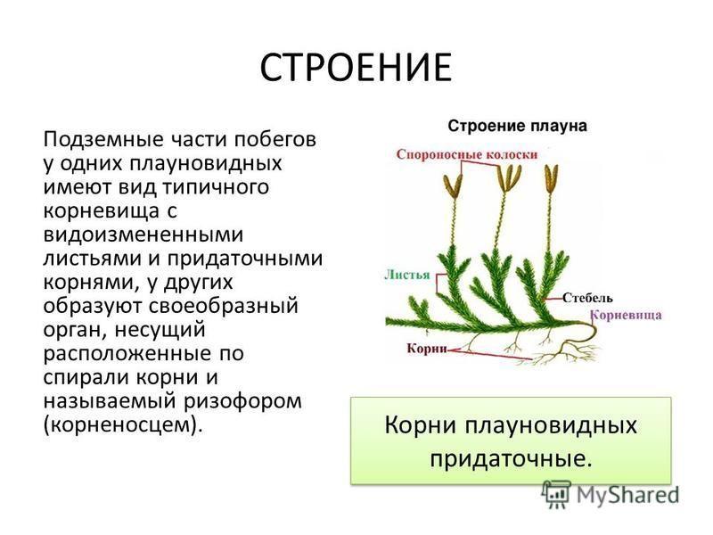 СТРОЕНИЕ Подземные части побегов у одних плауновидных имеют вид типичного корневища с видоизмененными листьями и придаточными корнями, у других образуют своеобразный орган, несущий расположенные по спирали корни и называемый ризофором (корненосцем).