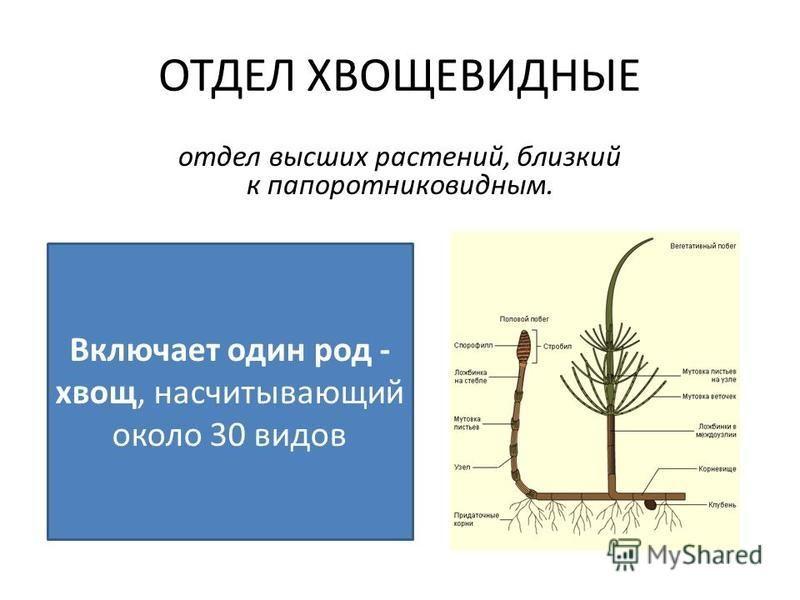 отдел высших растений, близкий к папоротниковидным. Включает один род - хвощ, насчитывающий около 30 видов