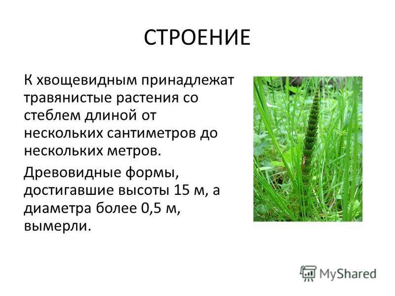 СТРОЕНИЕ К хвощевидным принадлежат травянистые растения со стеблем длиной от нескольких сантиметров до нескольких метров. Древовидные формы, достигавшие высоты 15 м, а диаметра более 0,5 м, вымерли.
