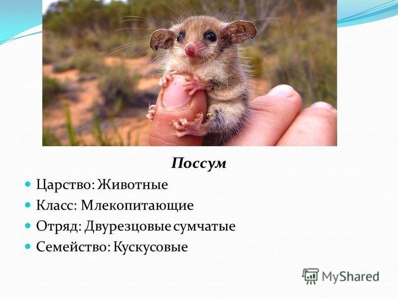 Поссум Царство: Животные Класс: Млекопитающие Отряд: Двурезцовые сумчатые Семейство: Кускусовые