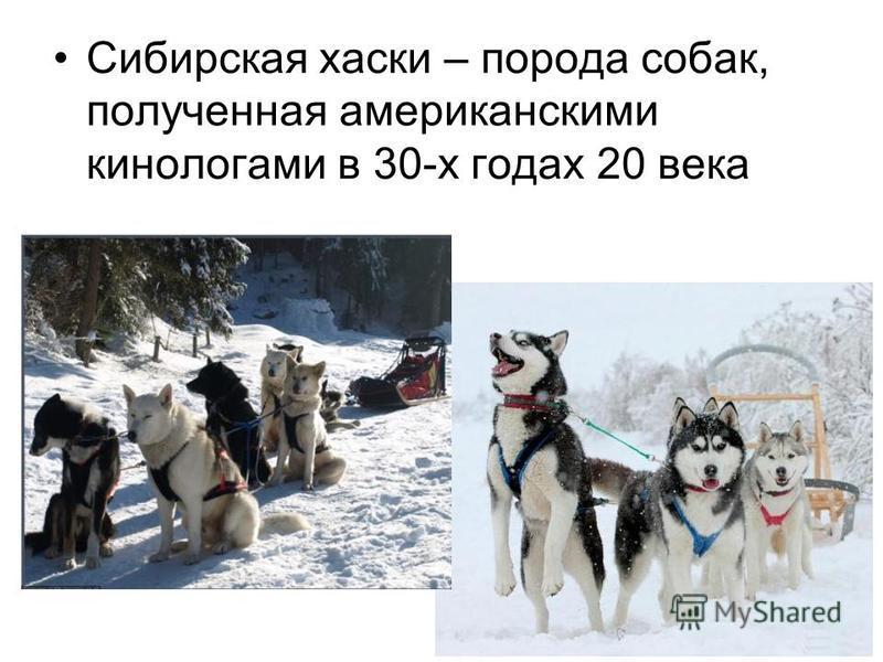 Сибирская хаски – порода собак, полученная американскими кинологами в 30-х годах 20 века