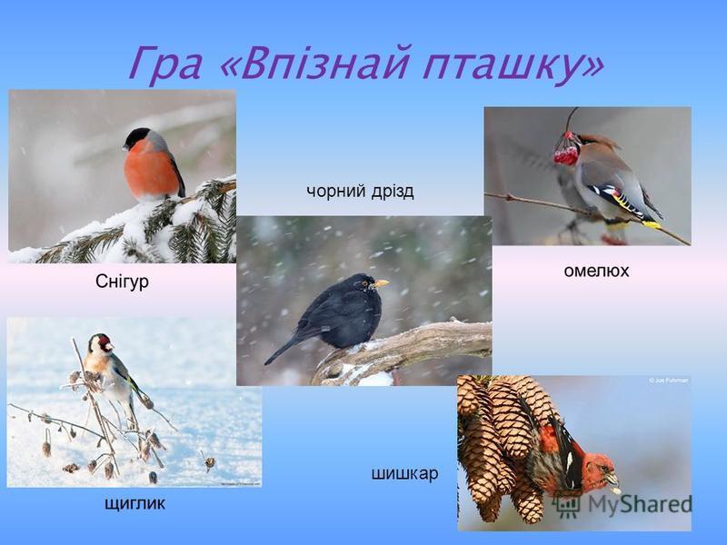 Гра «Впізнай пташку» чорний дрізд шишкар