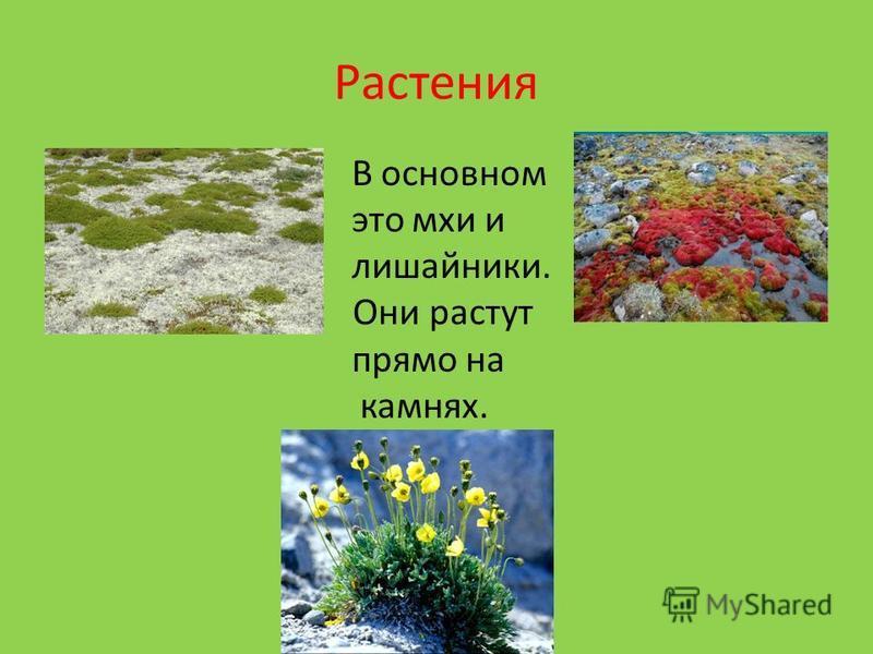 Растения В основном это мхи и лишайники. мох Они растут прямо на камнях.