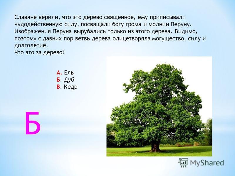 Славяне верили, что это дерево священное, ему приписывали чудодейственную силу, посвящали богу грома и молнии Перуну. Изображения Перуна вырубались только из этого дерева. Видимо, поэтому с давних пор ветвь дерева олицетворяла могущество, силу и долг