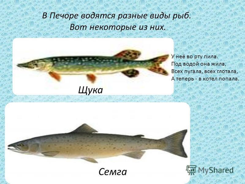 Впадает река Печора в Баренцево море. Это море находится на севере и оно холодное.