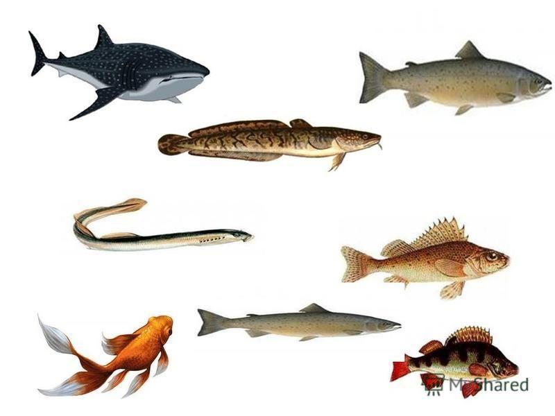 А вот и я! Хотите поиграть? Тогда попробуйте найти рыб, которые не живут в наших северных реках.