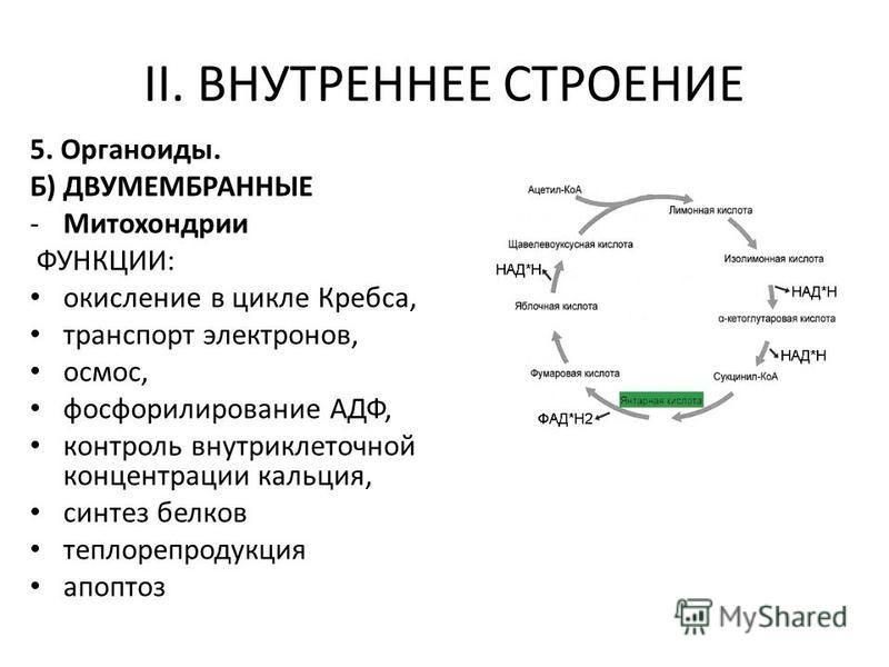 5. Органоиды. Б) ДВУМЕМБРАННЫЕ -Митохондрии ФУНКЦИИ: окисление в цикле Кребса, транспорт электронов, осмос, фосфорилирование АДФ, контроль внутриклеточной концентрации кальция, синтез белков теплорепродукция апоптоз II. ВНУТРЕННЕЕ СТРОЕНИЕ