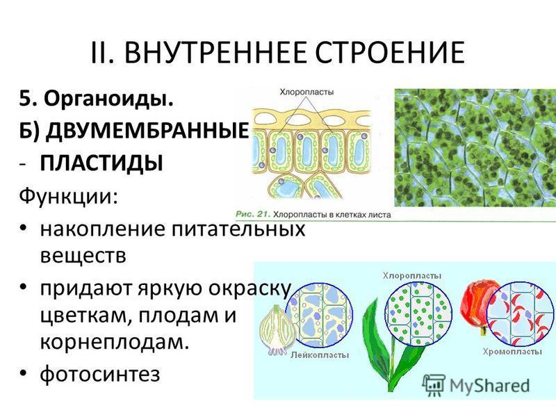 5. Органоиды. Б) ДВУМЕМБРАННЫЕ -ПЛАСТИДЫ Функции: накопление питательных веществ придают яркую окраску цветкам, плодам и корнеплодам. фотосинтез II. ВНУТРЕННЕЕ СТРОЕНИЕ