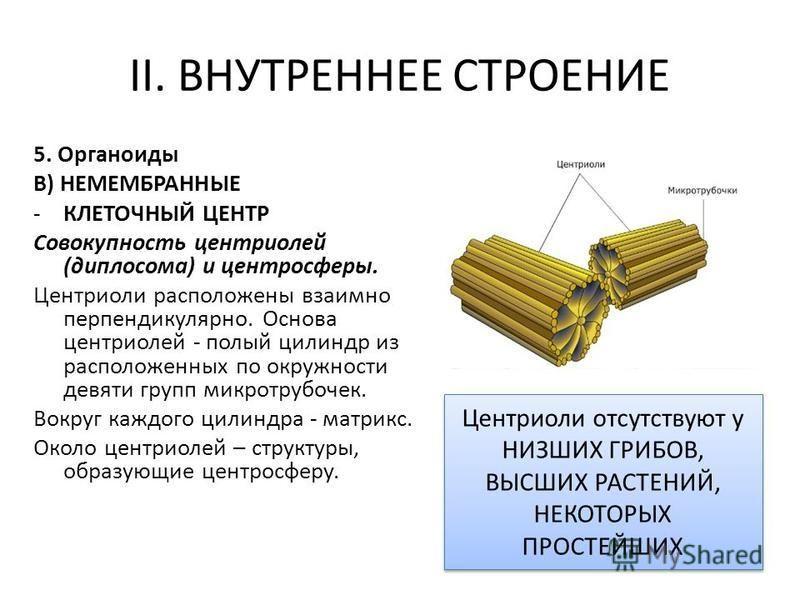 II. ВНУТРЕННЕЕ СТРОЕНИЕ 5. Органоиды В) НЕМЕМБРАННЫЕ -КЛЕТОЧНЫЙ ЦЕНТР Совокупность центриолей (диплосома) и центросферы. Центриоли расположены взаимно перпендикулярно. Основа центриолей - полый цилиндр из расположенных по окружности девяти групп микр