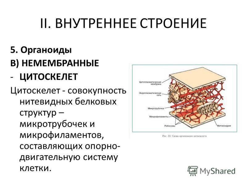 II. ВНУТРЕННЕЕ СТРОЕНИЕ 5. Органоиды В) НЕМЕМБРАННЫЕ -ЦИТОСКЕЛЕТ Цитоскелет - совокупность нитевидных белковых структур – микротрубочек и микрофиламентов, составляющих опорно- двигательную систему клетки.