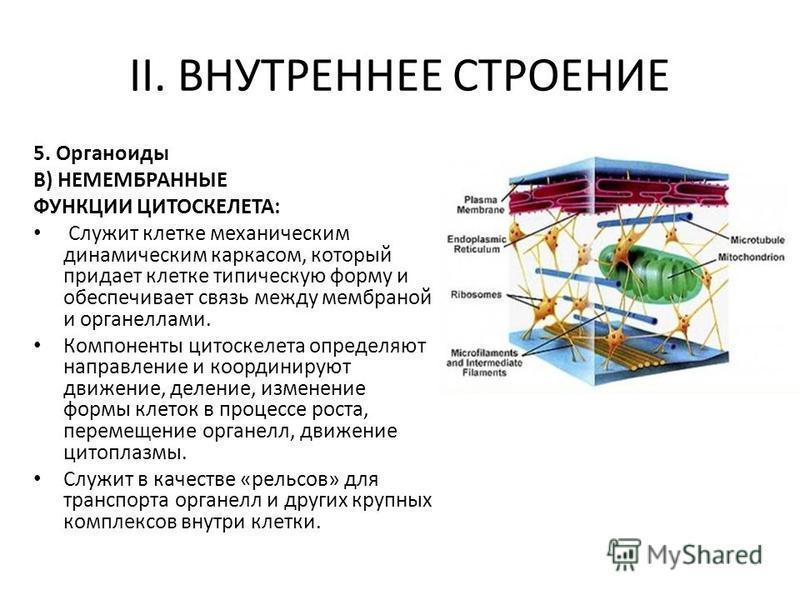 II. ВНУТРЕННЕЕ СТРОЕНИЕ 5. Органоиды В) НЕМЕМБРАННЫЕ ФУНКЦИИ ЦИТОСКЕЛЕТА: Служит клетке механическим динамическим каркасом, который придает клетке типическую форму и обеспечивает связь между мембраной и органеллами. Компоненты цитоскелета определяют
