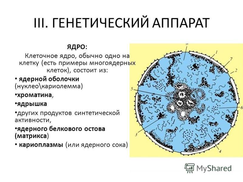 III. ГЕНЕТИЧЕСКИЙ АППАРАТ ЯДРО: Клеточное ядро, обычно одно на клетку (есть примеры многоядерных клеток), состоит из: ядерной оболочки (нуклео\кариолемма) хроматина, ядрышка других продуктов синтетической активности, ядерного белкового остова (матрик