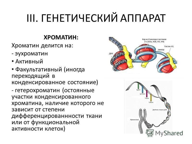 III. ГЕНЕТИЧЕСКИЙ АППАРАТ ХРОМАТИН: Хроматин делится на: - эухроматин Активный Факультативный (иногда переходящий в конденсированное состояние) - гетерохроматин (остоянные участки конденсированного хроматина, наличие которого не зависит от степени ди