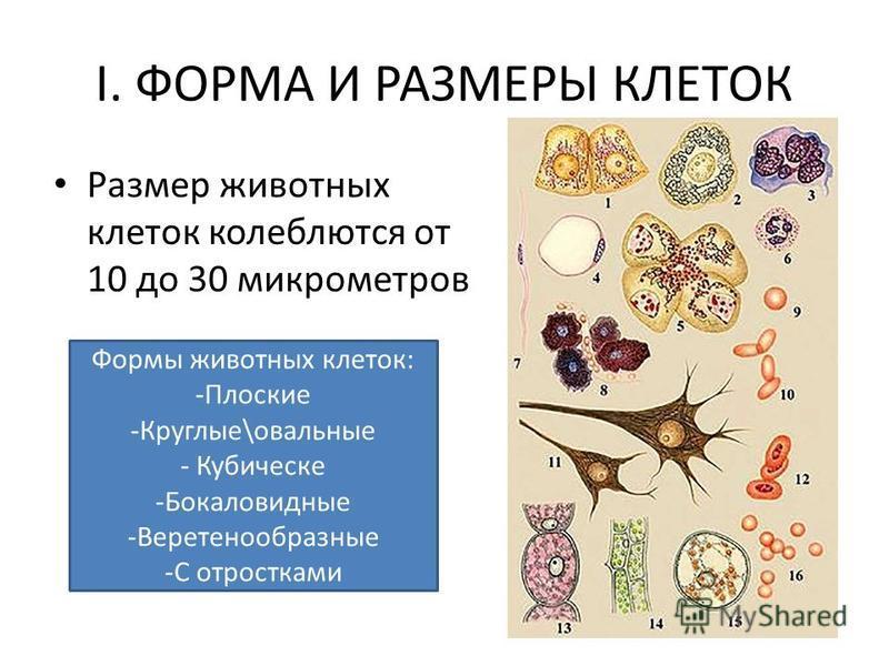 I. ФОРМА И РАЗМЕРЫ КЛЕТОК Размер животных клеток колеблются от 10 до 30 микрометров Формы животных клеток: -Плоские -Круглые\овальные - Кубическе -Бокаловидные -Веретенообразные -С отростками