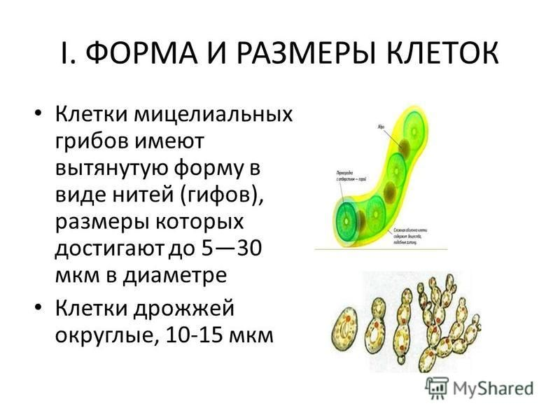 I. ФОРМА И РАЗМЕРЫ КЛЕТОК Клетки мицелиальных грибов имеют вытянутую форму в виде нитей (гифов), размеры которых достигают до 530 мкм в диаметре Клетки дрожжей округлые, 10-15 мкм