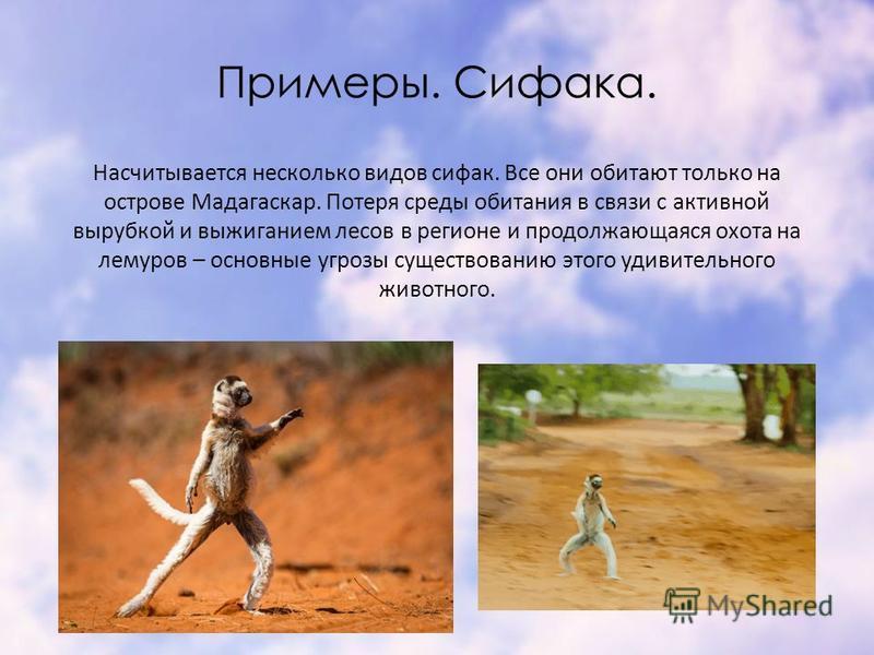Примеры. Сифака. Насчитывается несколько видов сивак. Все они обитают только на острове Мадагаскар. Потеря среды обитания в связи с активной вырубкой и выжиганием лесов в регионе и продолжающаяся охота на лемуров – основные угрозы существованию этого