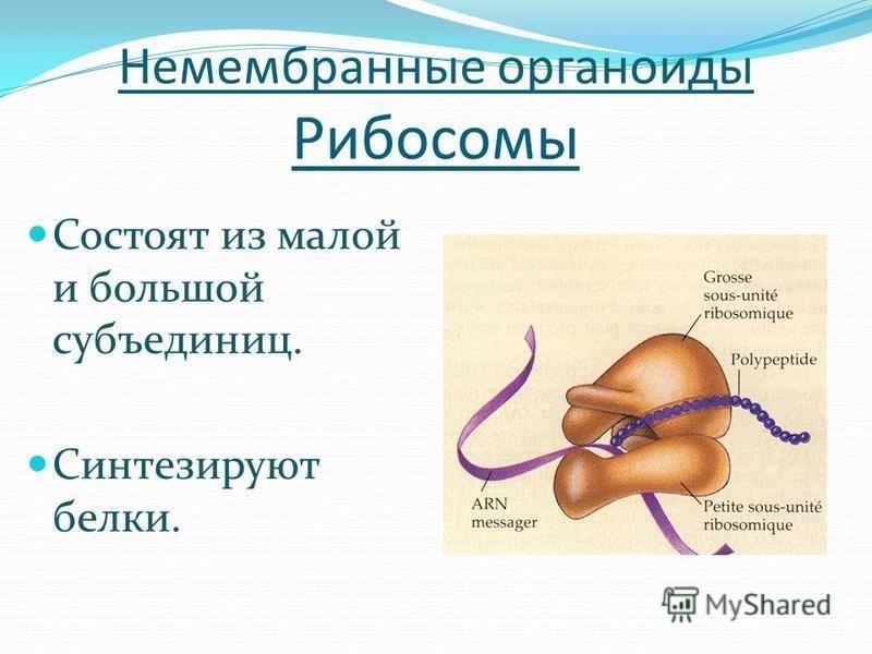 Немембранные органоиды Рибосомы Состоят из малой и большой субъединиц. Синтезируют белки.
