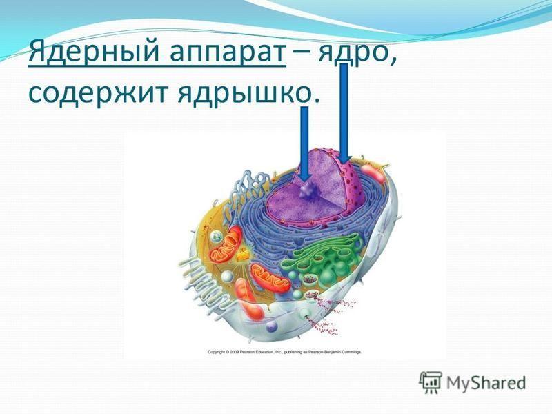 Ядерный аппарат – ядро, содержит ядрышко.