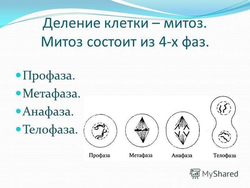 Деление клетки – митоз. Митоз состоит из 4-х фаз. Профаза. Метафаза. Анафаза. Телофаза.