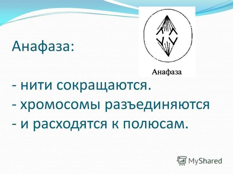 Анафаза: - нити сокращаются. - хромосомы разъединяются - и расходятся к полюсам.