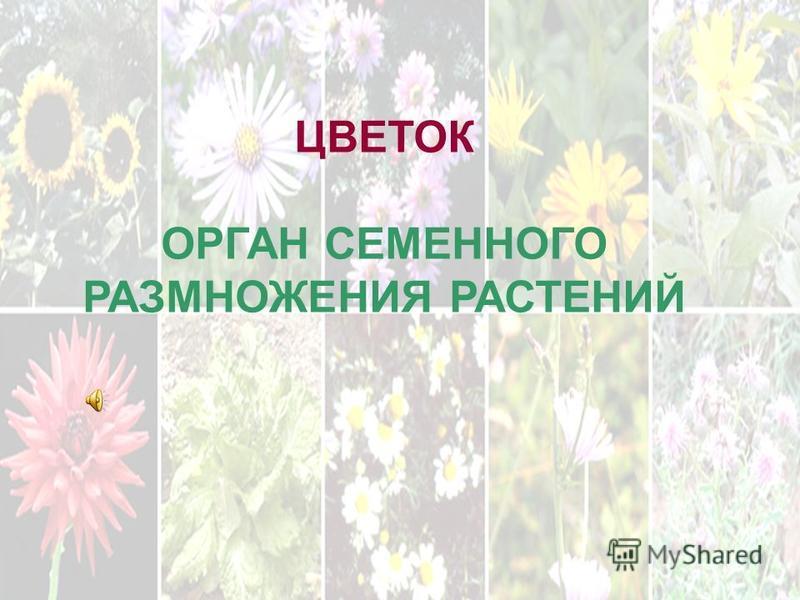 . ЦВЕТОК ОРГАН СЕМЕННОГО РАЗМНОЖЕНИЯ РАСТЕНИЙ