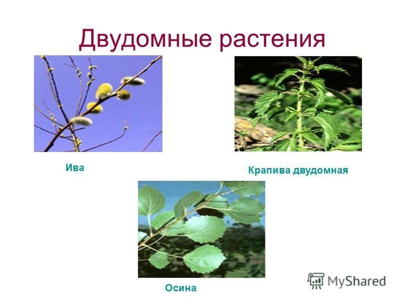 Двудомные растения Ива Крапива двудомная Осина
