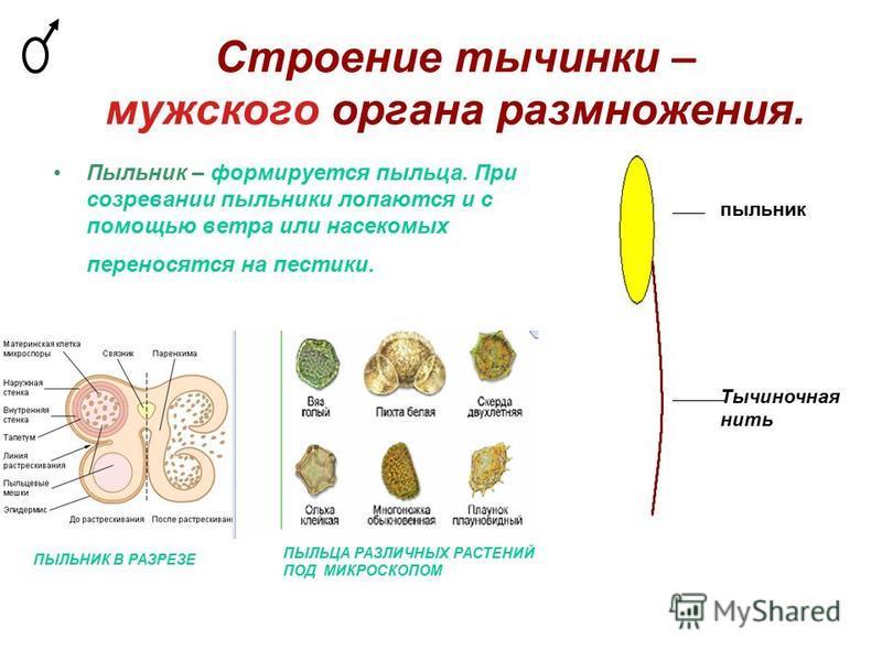 Строение тычинки – мужского органа размножения. Пыльник – формируется пыльца. При созревании пыльники лопаются и с помощью ветра или насекомых переносятся на пестики. пыльник Тычиночная нить ПЫЛЬЦА РАЗЛИЧНЫХ РАСТЕНИЙ ПОД МИКРОСКОПОМ ПЫЛЬНИК В РАЗРЕЗЕ