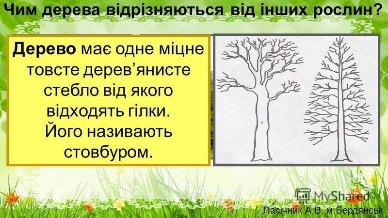 Чим дерева відрізняються від інших рослин? Дерево має одне міцне товсте деревянисте стебло від якого відходять гілки. Його називають стовбуром. Пасічник А.В. м.Бердянськ