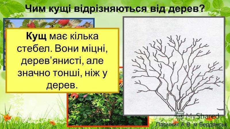 Чим кущі відрізняються від дерев? Кущ має кілька стебел. Вони міцні, деревянисті, але значно тонші, ніж у дерев. Пасічник А.В. м.Бердянськ