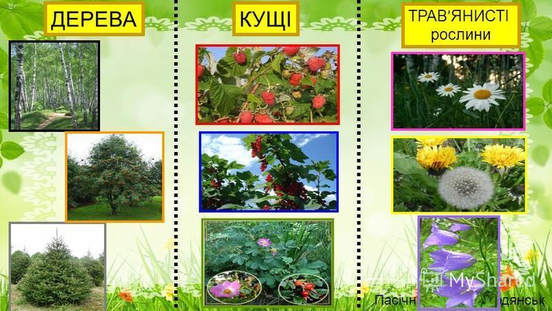 ДЕРЕВАКУЩІ ТРАВ ' ЯНИСТІ рослини