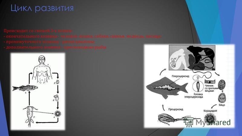 Цикл развития Происходит со сменой 3- х хозяев : - окончательного хозяина - человек, кошка, собака, свинья, медведь, лисица ; - промежуточного хозяина - рачки циклопы ; - дополнительного хозяина - пресноводные рыбы