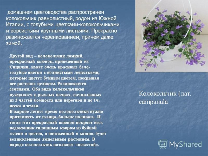 Колокольчик (лат. campanula домашнем цветоводстве распространен колокольчик равнолистный, родом из Южной Италии, с голубыми цветками-колокольчиками и ворсистыми крупными листьями. Прекрасно размножается черенкованием, причем даже зимой. Другой вид –