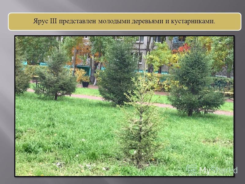 Ярус III представлен молодыми деревьями и кустарниками.