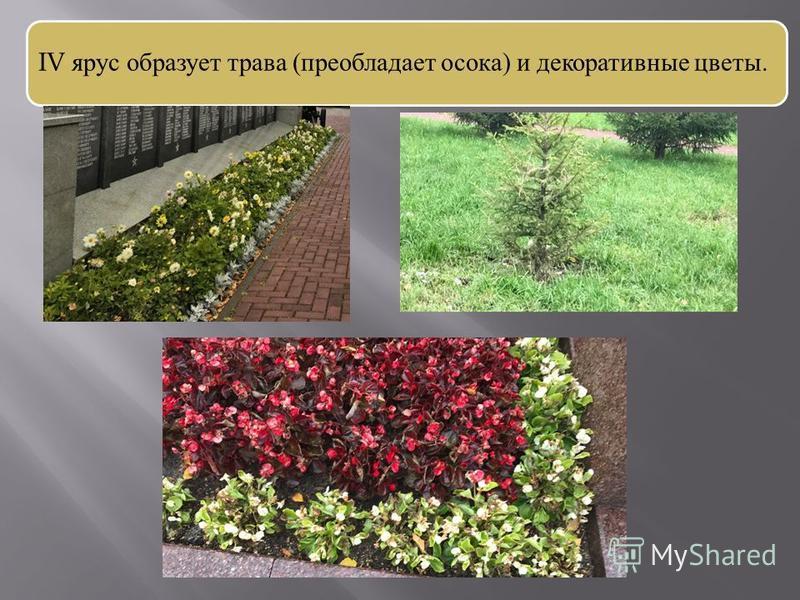 IV ярус образует трава (преобладает осока) и декоративные цветы.