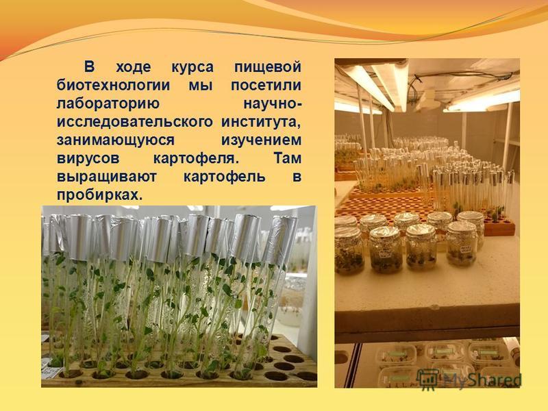 В ходе курса пищевой биотехнологии мы посетили лабораторию научно- исследовательского института, занимающуюся изучением вирусов картофеля. Там выращивают картофель в пробирках.