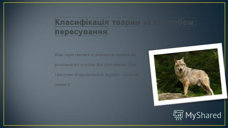 Вовк пересуваеться за допомогою кінцівок,які розміщені під тулубом. Він дуже швидко бігає і пдступно підкрадається до жертви і з легкістю ловить її.