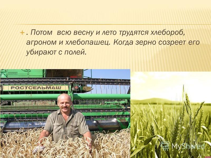 . Потом всю весну и лето трудятся хлебороб, агроном и хлебопашец. Когда зерно созреет его убирают с полей.