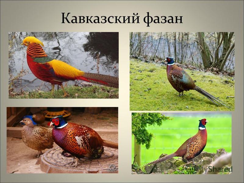 Кавказский фазан
