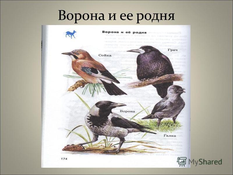 Ворона и ее родня