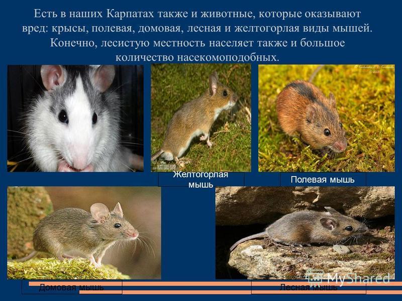 Есть в наших Карпатах также и животные, которые оказывают вред: крысы, полевая, домовая, лесная и желтогорлая виды мышей. Конечно, лесистую местность населяет также и большое количество насекомоподобных. Желтогорлая мышь Полевая мышь Домовая мышь Лес