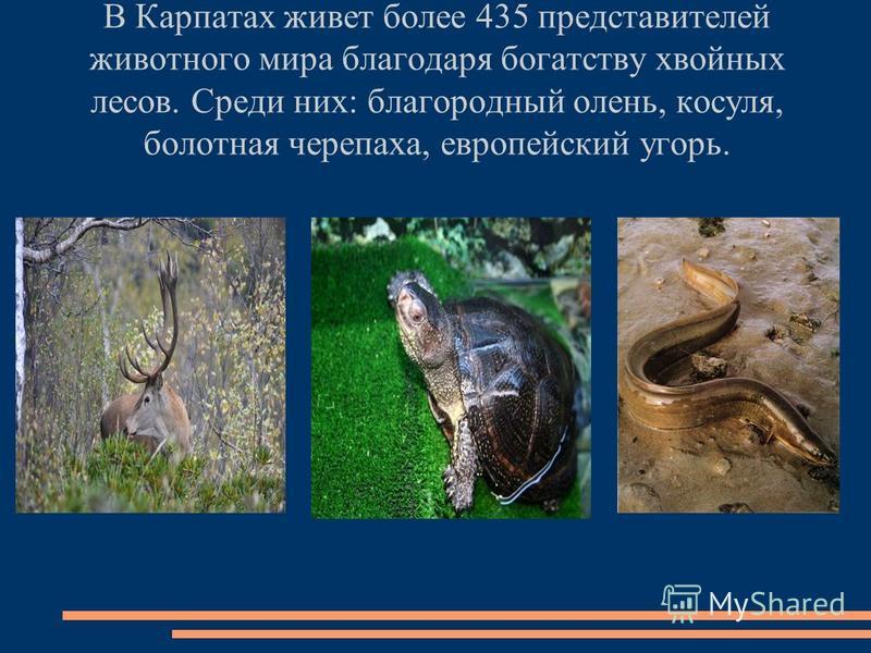 В Карпатах живет более 435 представителей животного мира благодаря богатству хвойных лесов. Среди них: благородный олень, косуля, болотная черепаха, европейский угорь.