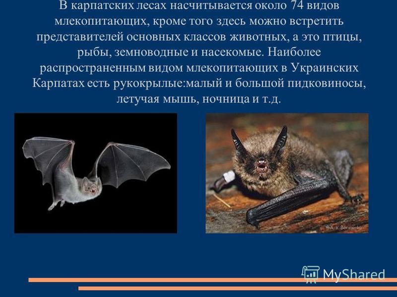 В карпатских лесах насчитывается около 74 видов млекопитающих, кроме того здесь можно встретить представителей основных классов животных, а это птицы, рыбы, земноводные и насекомые. Наиболее распространенным видом млекопитающих в Украинских Карпатах