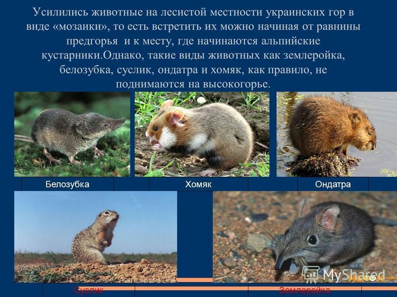 Усилились животные на лесистой местности украинских гор в виде «мозаики», то есть встретить их можно начиная от равнины предгорья и к месту, где начинаются альпийские кустарники.Однако, такие виды животных как землеройка, белозубка, суслик, ондатра и