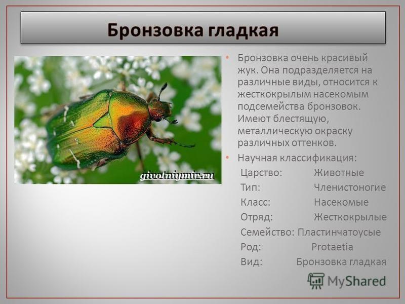 Бронзовка очень красивый жук. Она подразделяется на различные виды, относится к жесткокрылым насекомым подсемейства бронзовок. Имеют блестящую, металлическую окраску различных оттенков. Научная классификация : Царство : Животные Тип : Членистоногие К