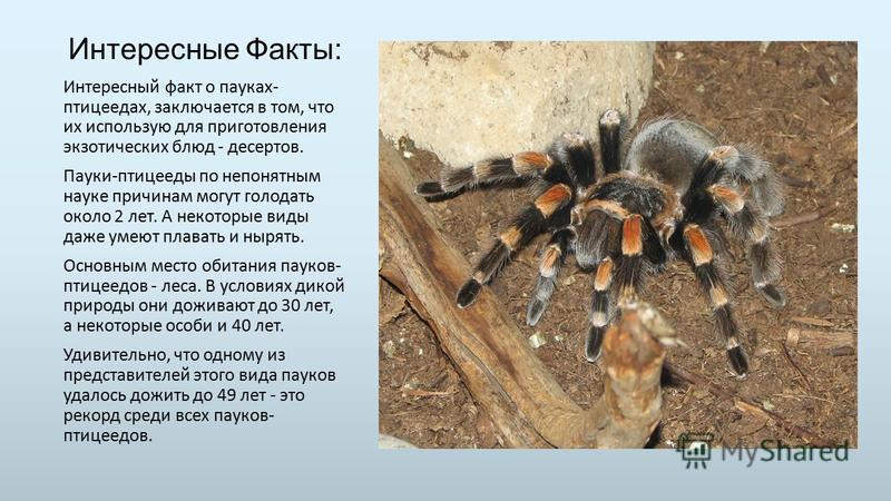 Интересные Факты: Интересный факт о пауках- птицеедах, заключается в том, что их использую для приготовления экзотических блюд - десертов. Пауки-птицееды по непонятным науке причинам могут голодать около 2 лет. А некоторые виды даже умеют плавать и н