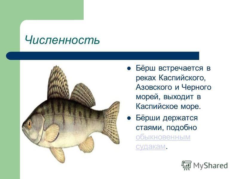 Численность Бёрш встречается в реках Каспийского, Азовского и Черного морей, выходит в Каспийское море. Бёрши держатся стаями, подобно обыкновенным судакам. обыкновенным судакам